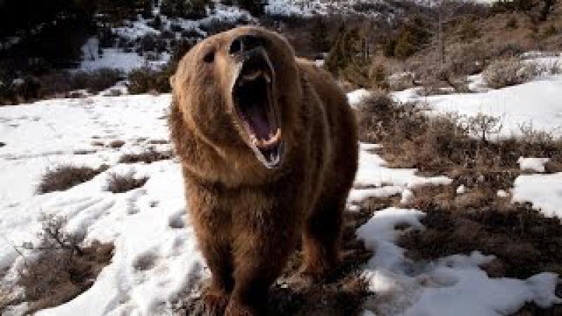 Медведи - ЛЮДОЕДЫ.Документальный сериал HD