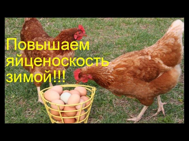Как повысить яйценоскость у кур зимой 3 способа Chickens