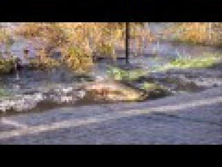 Skokomish River salmon cross the road 2016