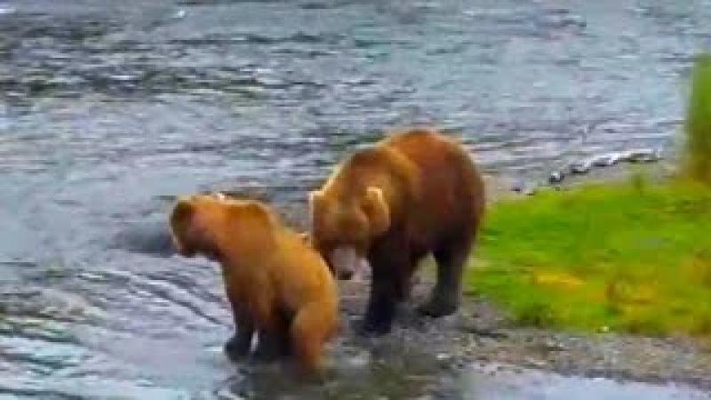 16 Спаривание бурых медведей в брачный период во время ловли лосося на Brooks River 2015 Footage
