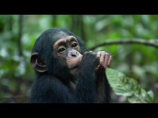 Child (Chimpanzee, 2012)