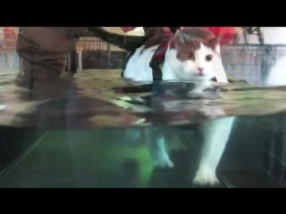 Fat Cat On The Water Treadmill - Cat Staying Alive