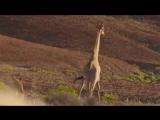 Лев против жирафа