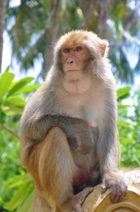 Вагина у обезьян
