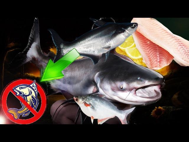 Никогда не ешьте эту рыбу Pangasius ВСЯ ПРАВДА О ПАНГАСИУСЕ