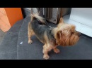 Amazing Cute Dog yorkshire terrier