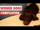 Wiener Dogs Video Compilation 2017