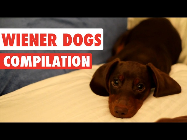 Wiener Dogs Video Compilation 2017