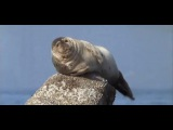 Seal dancing on the rock