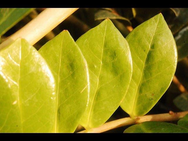 У ЗАМИОКУЛЬКАСА желтеют и сохнут листья ❖❖❖ Проблемы с ДОЛЛАРОВЫМ ДЕРЕВОМ и их решение