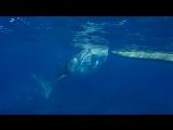 Наша съемка китовой акулы Ослоб, о. Себу, Филиппины