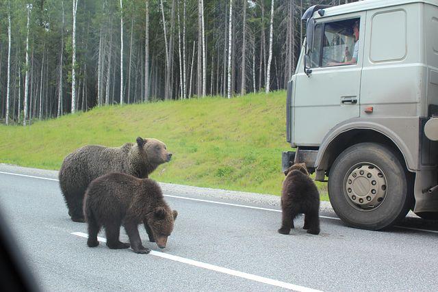 На трассе Кола агрессивные медведи бросаются под машины