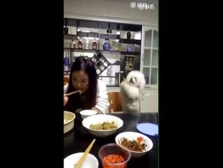 Китайская собака очень настойчиво просит еду