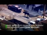 В США полиция устроила погоню с вертолётом за беглой коровой
