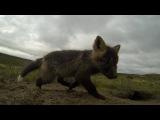 Baby Arctic Foxes, Nunavut