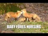 Baby Foxes Nursing