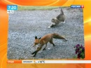 Домашний кот прогнал дикую лису со своего участка