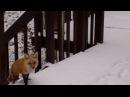 Friendly Red Fox Mule Deer