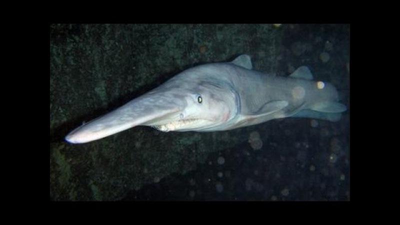 Акула гоблин - Goblin Shark (Энциклопедия животных)