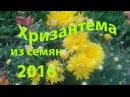 Хризантема из семян, перед пикировкой, (ч.2) 31 марта 2016 год.