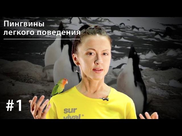 Пингвины легкого поведения: поощрительное спаривание у пингвинов Адели Все ка...