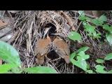Eared pitta / Ушастая питта / Pitta phayrei / Hydrornis phayrei