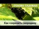 Голова садовая - Как сохранить смородину