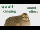 The Animal Sounds: Quail Chirping - Sound Effect - Animation