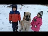 Дети играют с алабаем. Kids play with a very big dog.