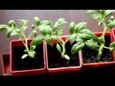 5 основных ошибок при выращивании рассады томатов