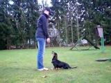 Dachshund Sully - Obedience (Protection Work) Unterordnung (Schutzdienst)