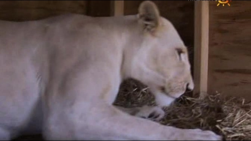 Animal Planet. Человек и львы (1-3 сезоны: 1-43 серии из 43) / The Lion Man / 2004-2008 /25