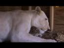 Animal Planet. Человек и львы 1-3 сезоны 1-43 серии из 43 / The Lion Man / 2004-2008 /25