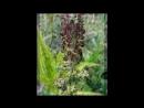 Чемерица черная Veratrum nigrum