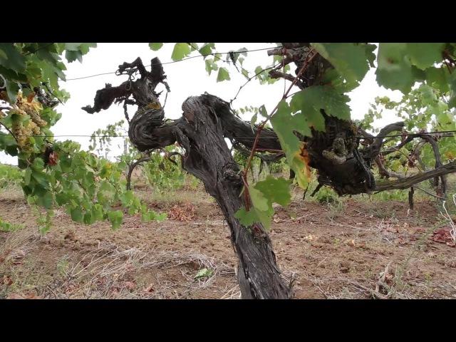 фильм В поисках древних традиций. Автохтонное вино Крыма