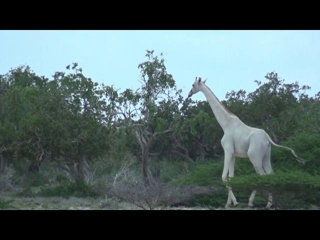 Два редких белых жирафа были замечены в Кении
