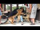 Вязка Собак. Немецкие Овчарки Гранд и Айрис. Dogs Mating. German Shepherds.
