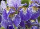 Как вырастить красивые ирисы и пионы на даче
