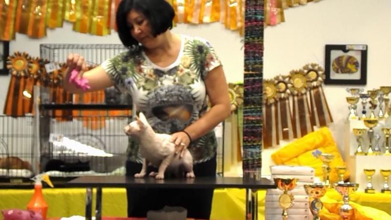 Beauty-Diamond ZlatoDar. Выставка кошек в Тольятти 9-10 сентября 2017 г.WCF-ринг взрослых. Эксперт Елена Лаврентьева