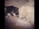 💘Наша😂выпускница Айва Amorecoon 🍒😸со своим другом mainecoon 🐾 котята 🌟 amorecoon 🐾