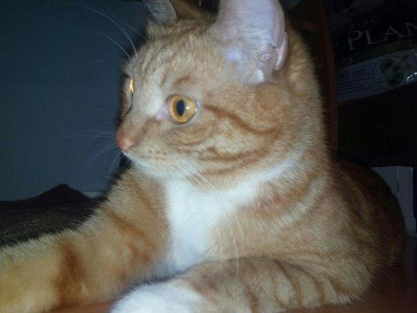 Очень срочно ищет дом молодой котик Фрэнк! Кот кастрирован, к лотку пр