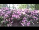 Na rajone al`pijskaja roza rododendron v tsvetu ETO 4TO TO