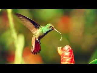 Документальный Фильм - Драгоценные посланники цветов Жизнь Колибри (Птицы) Это ...