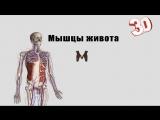 Мышцы живота ( детальный обзор).