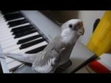 Попугай (корелла) поет заглавную музыкальную тему из мультфильма Мой сосед Тоторо