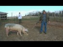 2017 Hog Slaughter on the homestead part 1 of 3