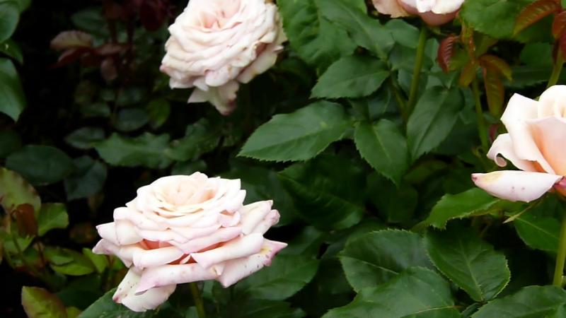 Цветение Поль Рикард