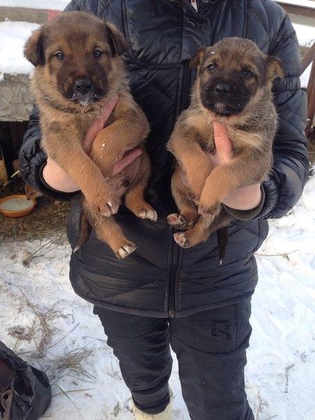 НУЖЕН СРОЧНО ДОМ ,осталось два щенка девочка и мальчик))) МАМУ завтра