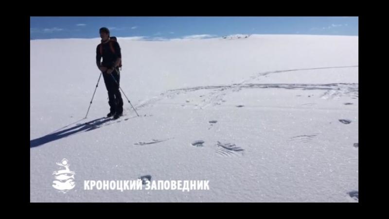 Белоплечий орлан ставил след на снегу