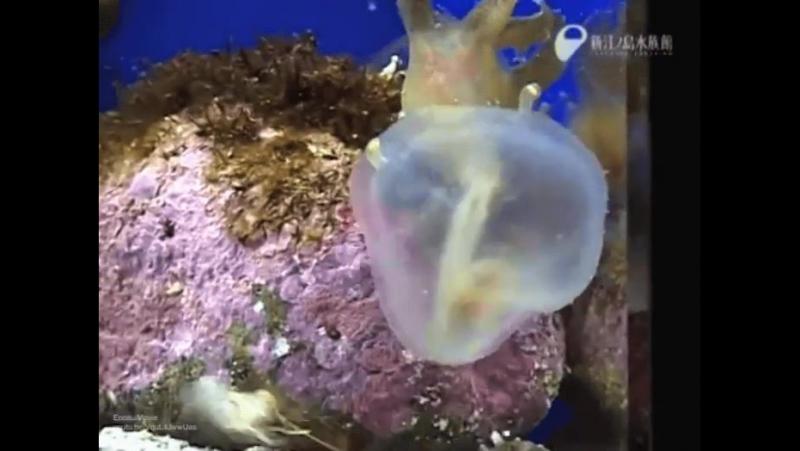 голожаберный молюск